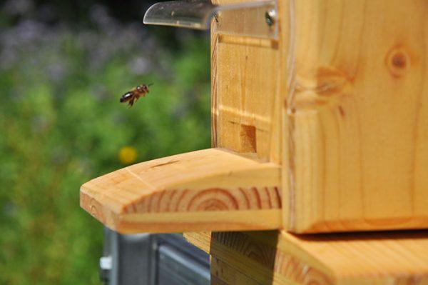 Bienen im Schaukasten
